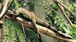 Beware of falling iguanas.
