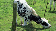 Cow reaching under fence.